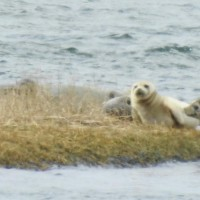 Seal Sighting from Condo